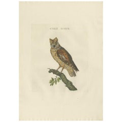 Antique Bird Print of a Eurasion Scops Owl by Sepp & Nozeman, 1809