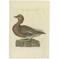 Antique Bird Print of a Female Eurasian Wigeon by Sepp & Nozeman, 1797