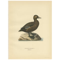 Antique Bird Print of a Female Steller's Eider by Von Wright, 1929
