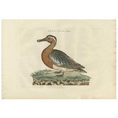 Antique Bird Print of a Garganey Duck by Sepp & Nozeman, 1789