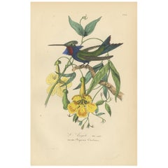 Antique Bird Print of a Hummingbird, 1853