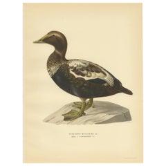 Antique Bird Print of a Male Common Eider by Von Wright, '1929'