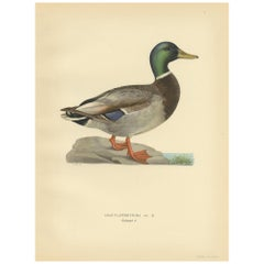 Antique Bird Print of a Male Domestic Duck by Von Wright '1929'