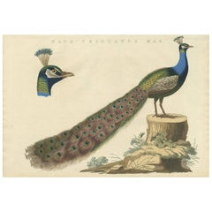Antique Bird Print of a Male Indian Peafowl by Sepp & Nozeman, 1829