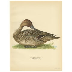 Antique Bird Print of a Male Northern Pintail by Von Wright '1929'