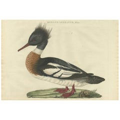 Antique Bird Print of a Male Red-Breasted Merganser by Sepp & Nozeman, 1797