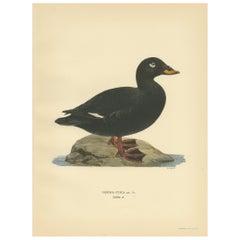 Antique Bird Print of a Male Velvet Scoter by Von Wright '1929'