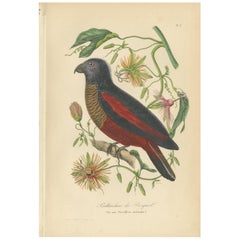 Antique Bird Print of a Pesquet's Parrot, 1853