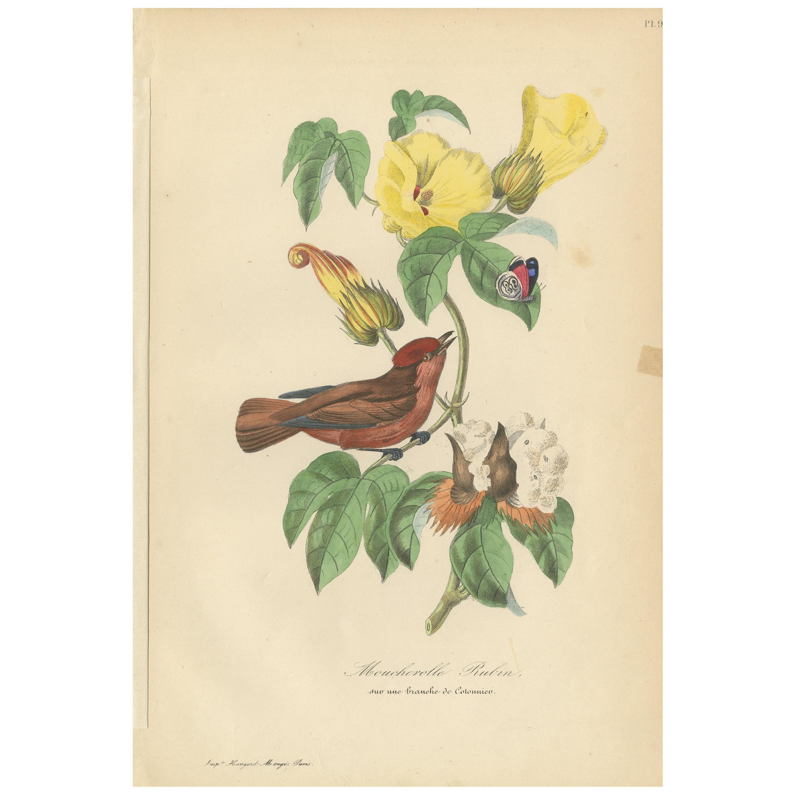 Antique Bird Print of a Phoebe Bird Species '1853'