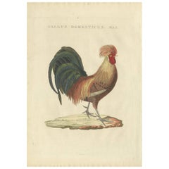 Antique Bird Print of a Rooster by Sepp & Nozeman, 1829