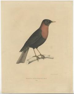 Antique Bird Print of a Rufous-Collared Thrush by Severeyns (c.1850)