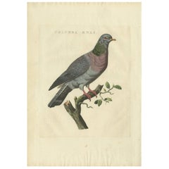 Antique Bird Print of a Stock Dove by Sepp & Nozeman, 1829