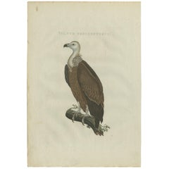 Antique Bird Print of a Vulture by Sepp & Nozeman, 1829