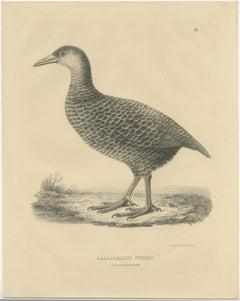 Antique Bird Print of a Weka by Severeyns (c.1850)