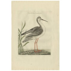 Antique Bird Print of a White Sandpiper by Sepp & Nozeman, 1797