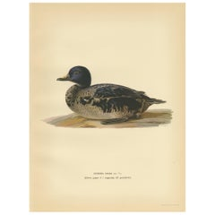 Antique Bird Print of a Young Black Scoter by Von Wright, 1929
