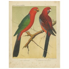 Antique Bird Print of Australian King Parrot, Crimson Rosellas, circa 1880
