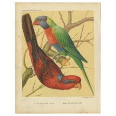 Antique Bird Print of Blue-Streaked Lory and Blue Mountain Lory 'circa 1880'
