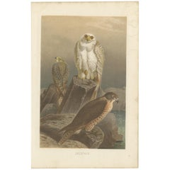 Antique Bird Print of Falcons by Brehm '1892'