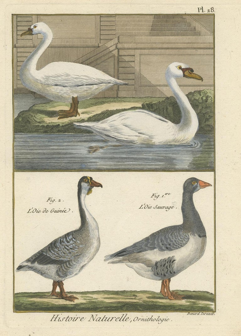 Antique Bird Print Of Geese By Bonnaterre 1790 For Sale At 1stdibs