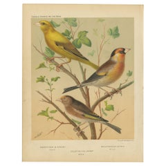 Antique Bird Print of Greenfinch & Canary Mule, Goldfinch & Linnet and Others