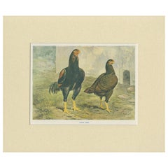 Antique Bird Print of Indian Game Chicken by André & Sleigh, circa 1900