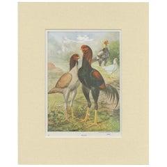 Antique Bird Print of Malay Chicken by André & Sleigh 'circa 1900'