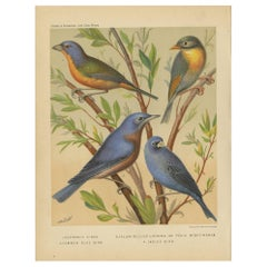 Antique Bird Print of Pin-Tailed Parrot Finch, Yellow Billed Leiothrix and Other
