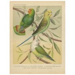 Antique Bird Print of Red-Headed Love-Bird, Undulated Grey-Headed and Parakeet