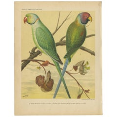 Antique Bird Print of Ring-Necked Parakeet and Blossom-Headed Parakeet