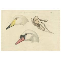 Antique Bird Print of Swan 'Tab. II' by Sepp & Nozeman, 1829