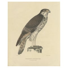 Antique Bird Print of the African Hawk-Eagle by Severeyns  'c.1850'