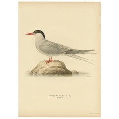 Antique Bird Print of the Arctic Tern by Von Wright, 1927
