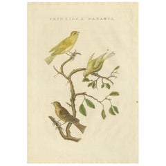 Antique Bird Print of the Atlantic Canary by Sepp & Nozeman, 1829