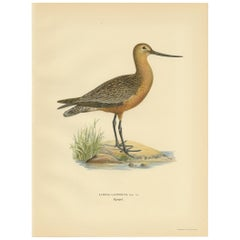 Antique Bird Print of the Bar-Tailed Godwit by Von Wright, 1929