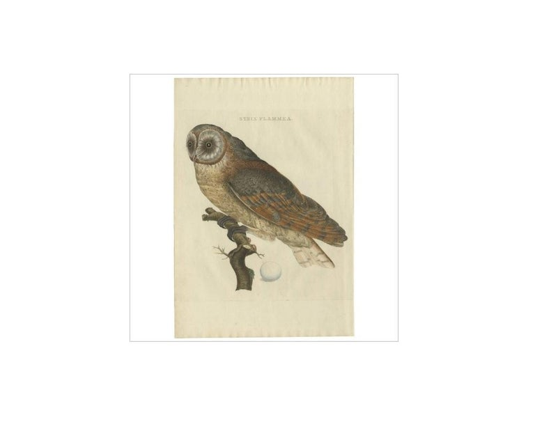 Antique print titled 'Strix Flammea'. The barn owl (Tyto alba) is the most widely distributed species of owl and one of the most widespread of all birds. It is also referred to as the common barn owl, to distinguish it from other species in its