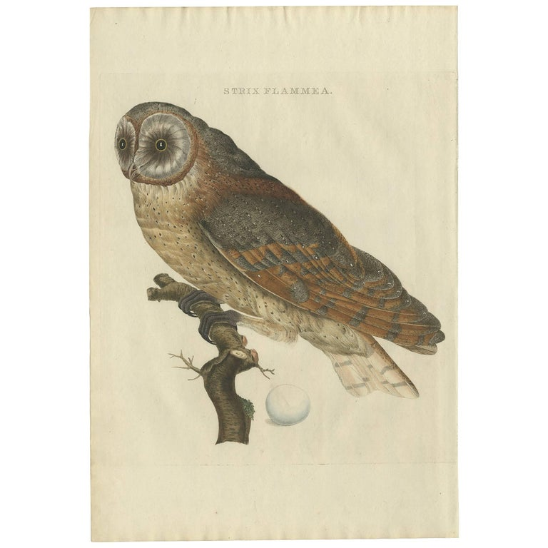Antique Bird Print of the Barn Owl by Sepp & Nozeman, 1809 For Sale