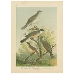 Antique Bird Print of the Barred & Western Orphean Warble by Naumann, circa 1895