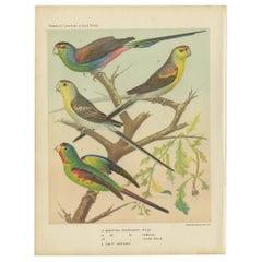 Antique Bird Print of the Beautiful Parakeet, Swift Parrot, circa 1880