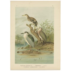 Antique Bird Print of the Black-Crowned Night Heron by Naumann, circa 1895