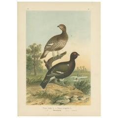 Antique Bird Print of the Black Grouse 'Hybrid' by Naumann, circa 1895