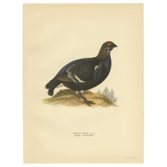 Antique Bird Print of the Black Grouse 'Male' by Von Wright, 1929