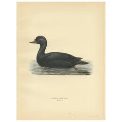 Antique Bird Print of the Black Scoter by Von Wright, 1929