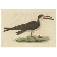 Antique Bird Print of the Black Skimmer by Sepp & Nozeman, 1829
