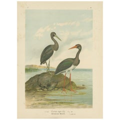 Antique Bird Print of the Black Stork by Naumann, circa 1895