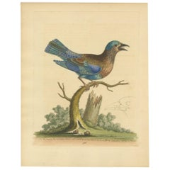 Antique Bird Print of the Blue Jay by Edwards, '1743'