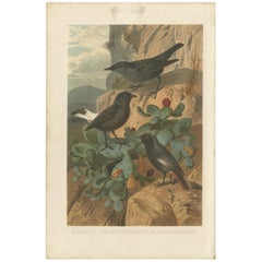 Antique Bird Print of the Blue Rock Thrush and Passerine Birds by Brehm, '1891'