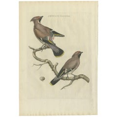 Antique Bird Print of the Bohemian Waxwing by Sepp & Nozeman, 1797