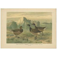 Antique Bird Print of the Brant by Naumann, circa 1895