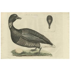 Antique Bird Print of the Brent Goose by Sepp & Nozeman, 1789